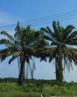 Cây cọ dầu - thích hợp cho khu sinh thái
