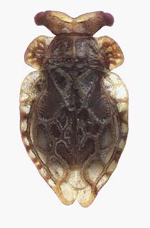 Oiophysa pendergrasti (Hemiptera: Peloridiidae). Photo M-C Larivière. Specimen from the North Island (Coromandel Peninsula).Citation: Larivière M-C, Burckhardt D, Larochelle A. 2011. Peloridiidae (Insecta: Hemiptera: Coleorrhyncha). Fauna of New Zealand 67. 78 pp. http://www.biotaxa.org/fnz/issue/view/431
