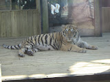 TIGERS Preservation Station - Myrtle Beach - 040510 - 18