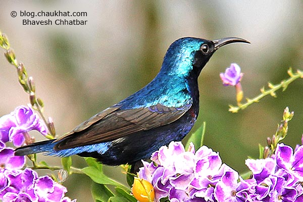 Close-up of a male Purple Sunbird [Cinnyris asiaticus] perched on a flowering plant