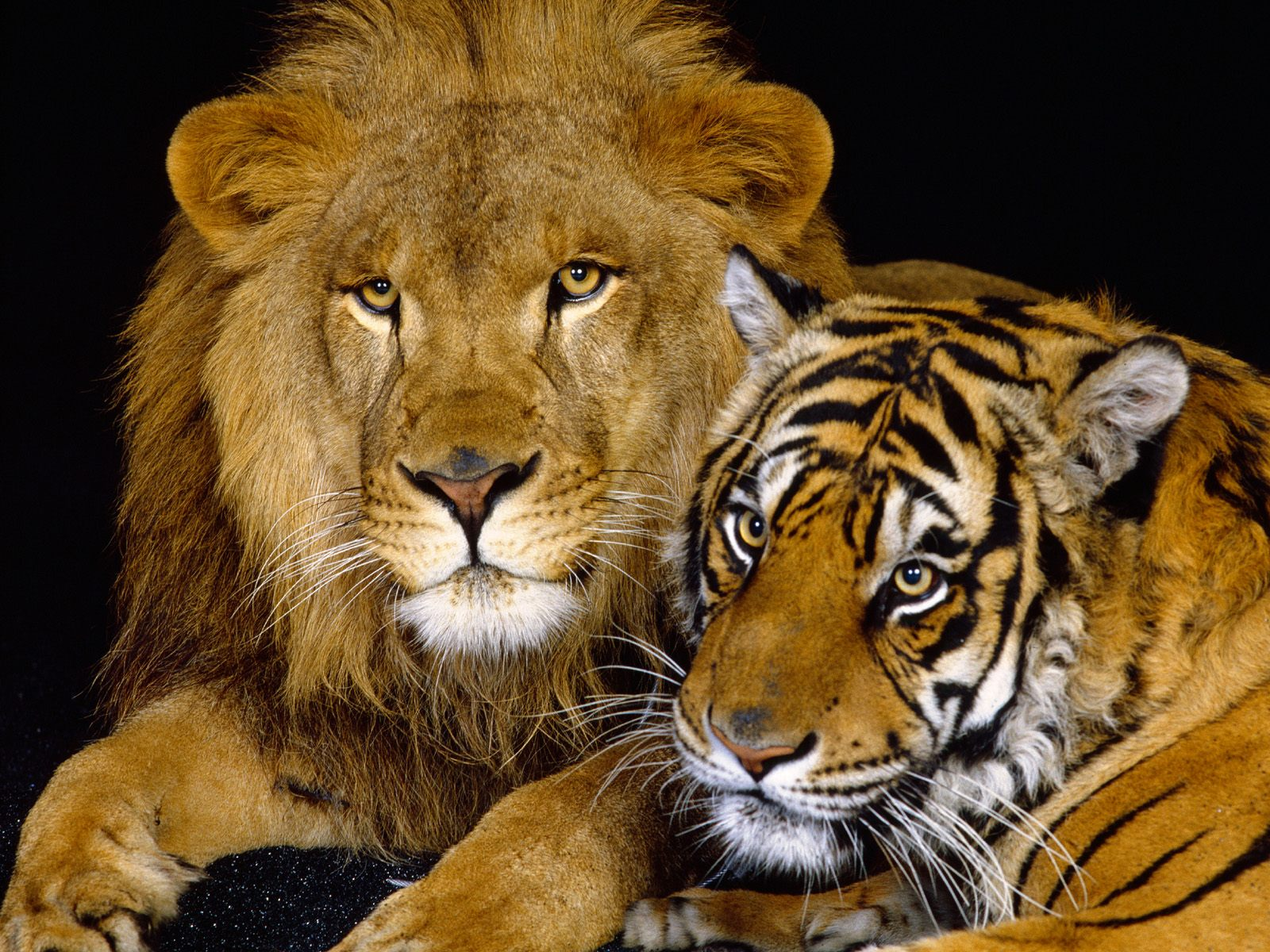 Animal Cold Cute 36 Of Lions Cool Lions S