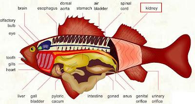 anatomi ikan Sistem Ekskresi (2): Sistem ekskresi pada Vertebrata