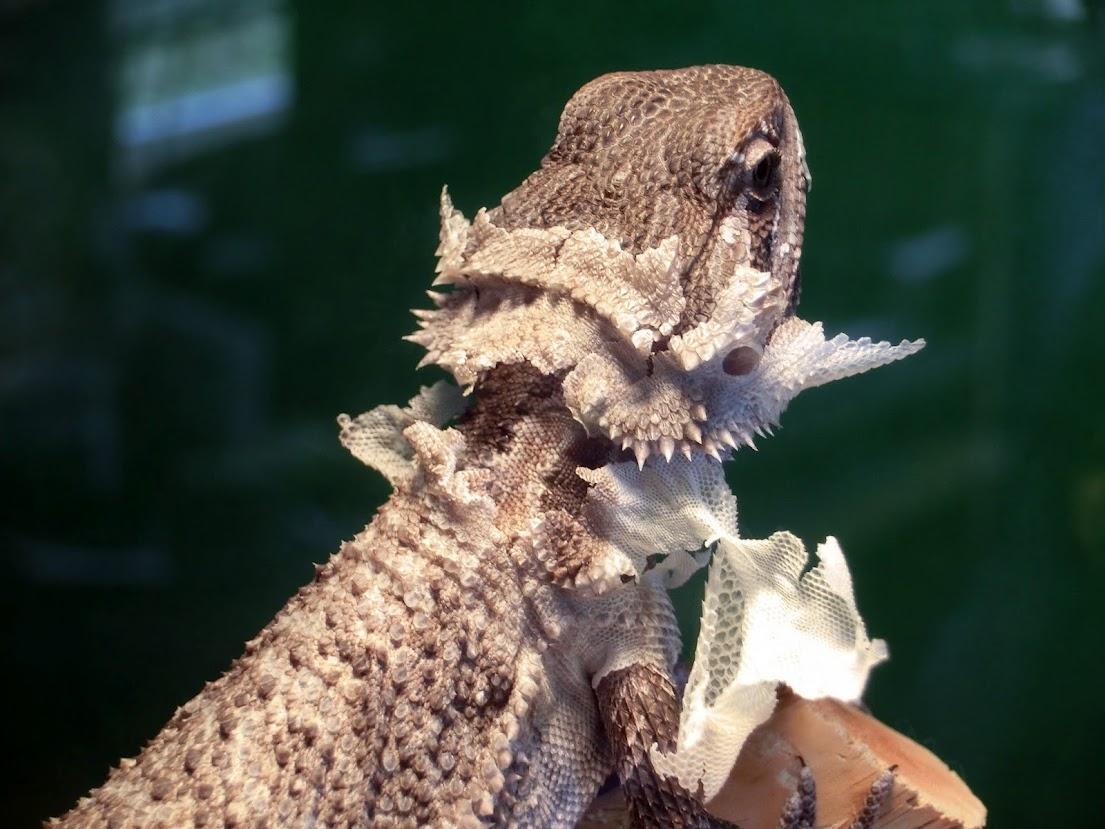 Shedding Bearded Dragon Org