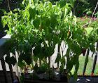 23 week sweet peppers - very light harvest