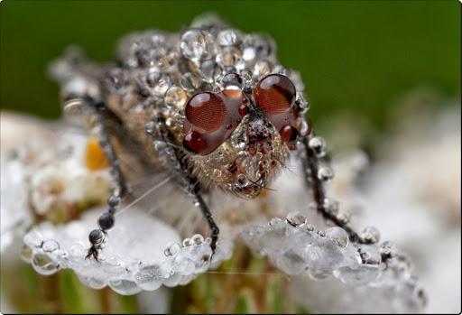 Heavy load - little fly on a small white flower.jpg