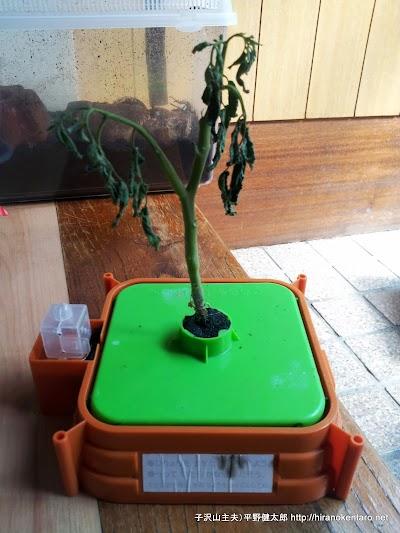 チャレンジ2年生のミニトマトが枯れた