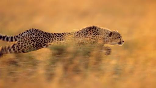 Running Cheetah.jpg