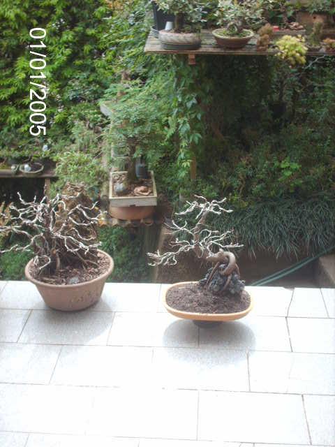 Ficus Nerifolia, Uma raiz de 3 anos... PICT1063