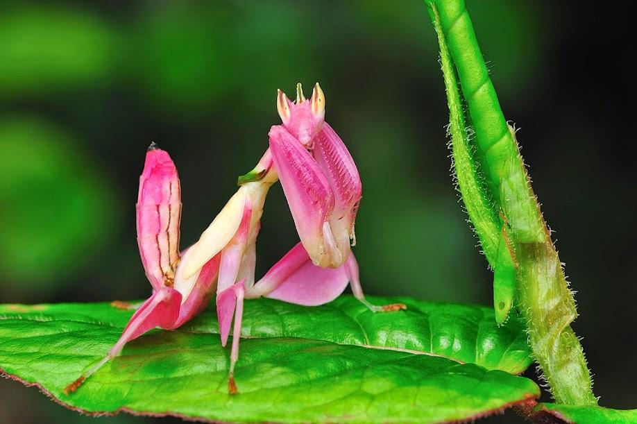 orchid-mantis1.jpg