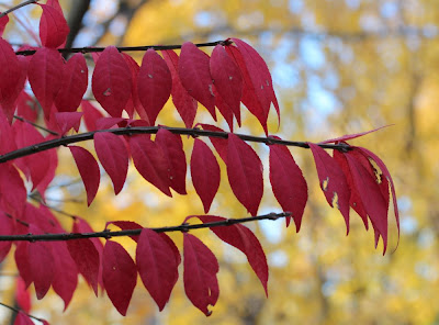 red leaves in the foreground, yellow in the background