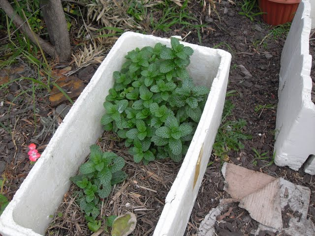 mint likes growing in a  coffee compost
