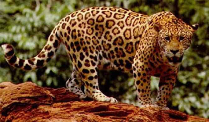 Dangerous of Wild Animals: Jaguar