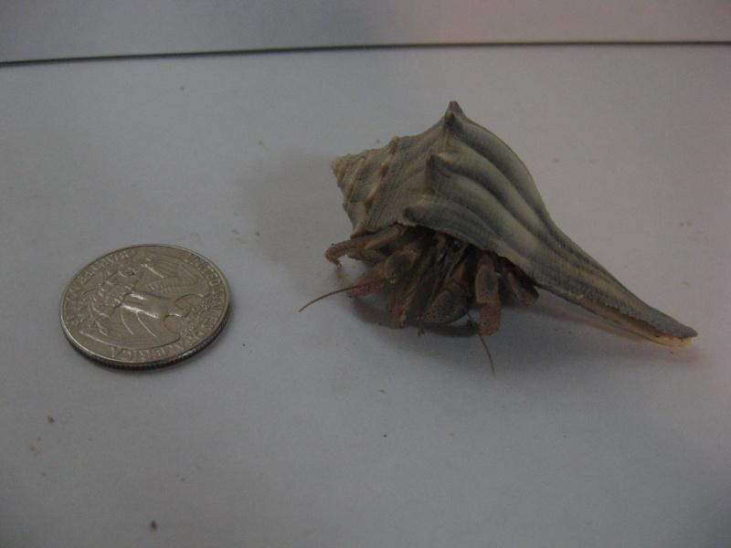Photo Album: Ecuadorian hermit crab (Coenobita compressus) Hermit%2BCrab%2B4