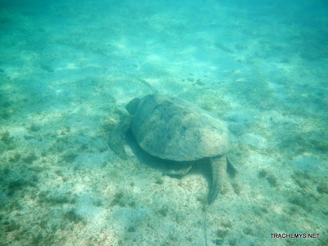 Tortues marines à Mayotte DSCN1403
