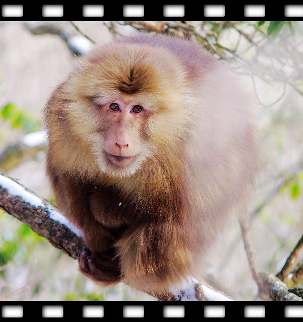 黃山雪霧追日巧遇短尾猴
