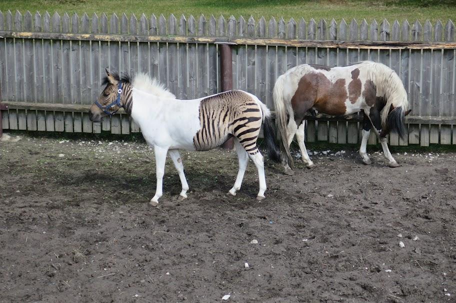 Kreuzung zwischen Zebra und Pferd
