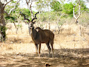 A kudu making a funny face at us.  Or chewing its cud.