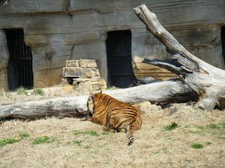 Tulsa Zoo ~ Tiger Jin