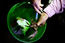 Actividad de censo de jueyes. Insersion de un chip para rastrear al cangrejo.