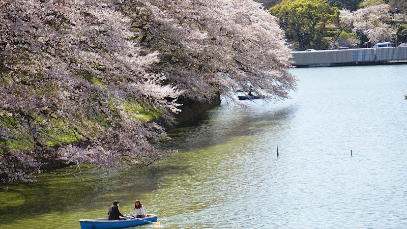 千鳥ヶ淵 桜 写真12