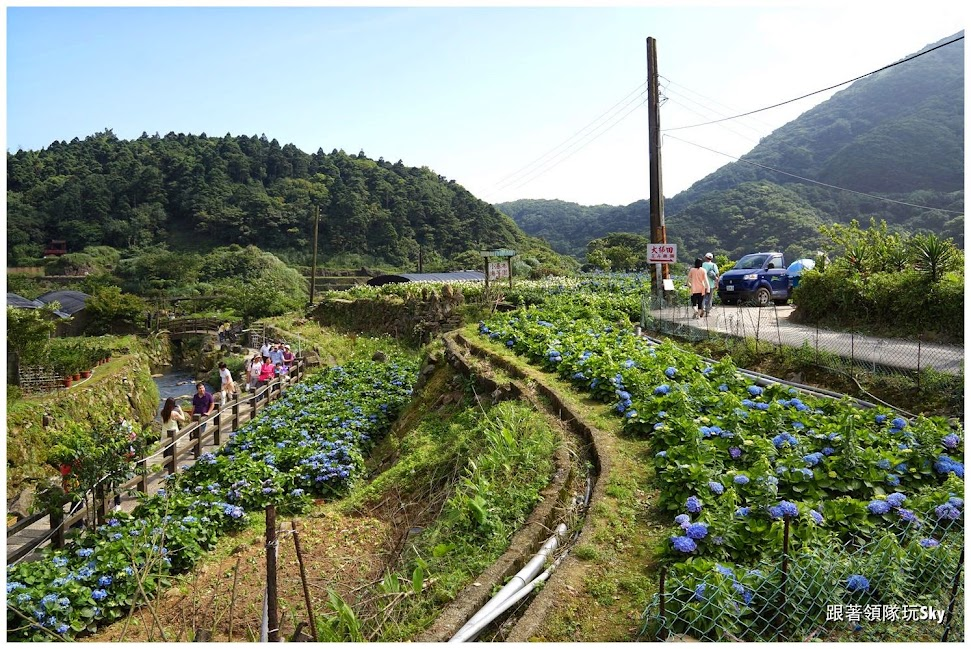 台北景點推薦【大梯田花卉生態農場】竹子湖繡球花海