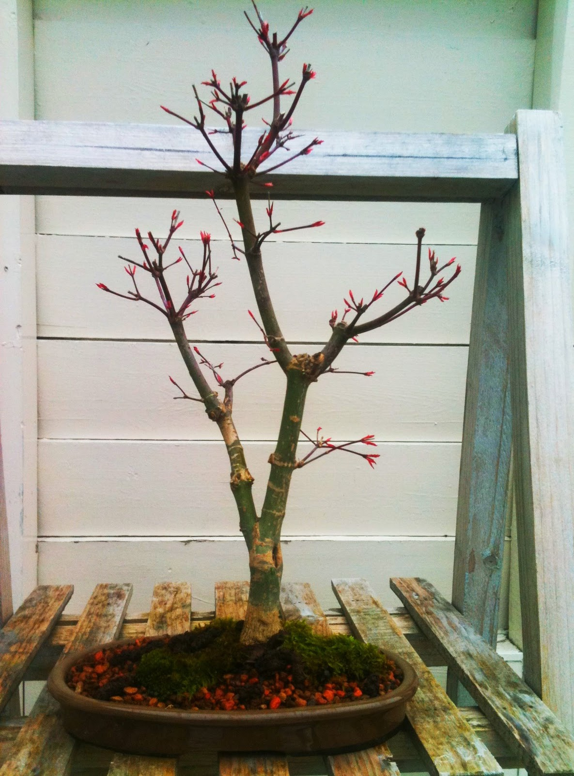 My Bonsai New Tree True Japanese Red Maple Acer Palmatum Deshojo