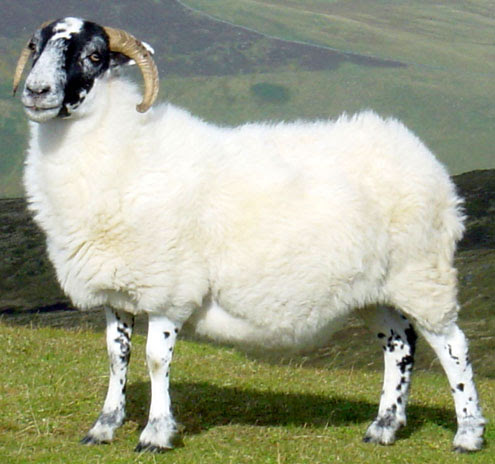 Овца домашняя (Ovis aries)