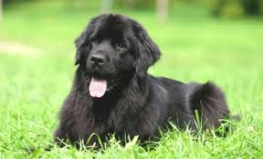 top 10 family dogs newfoundland