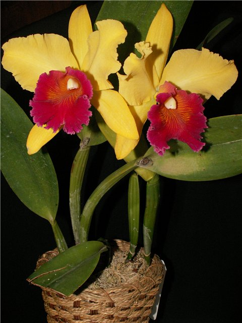 Растения из Тюмени. Краткий обзор - Страница 9 Blc.%252520Alma%252520Kee%252520%252527Tipmalee%252527