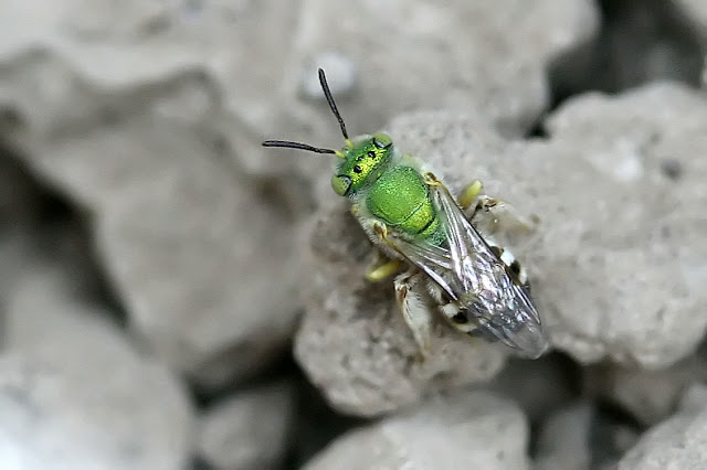Metallic Green Bee, Agapostemon sp.