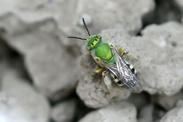 Metallic Green Bee, Agapostemon sp.