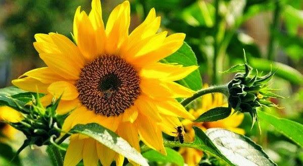 Лечение цветками подсолнуха