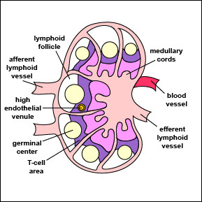 Estructura ganglio linfático