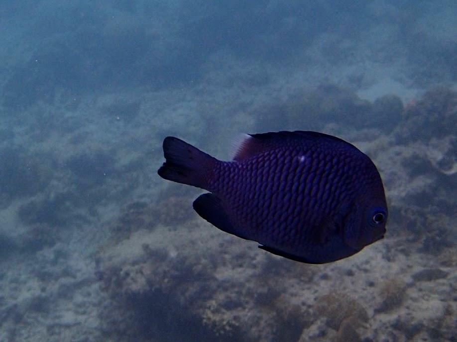 Dascyllus trimaculatus (Domino Damselfish), Entatula Island Beach Club reef, Palawan, Philippines.