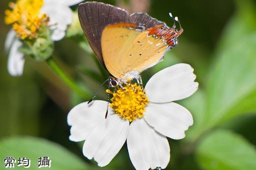 六月楓樹湖拍昆蟲特寫(8p外加鳥一隻)
