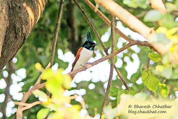 Adult Female Asian Paradise Flycatcher