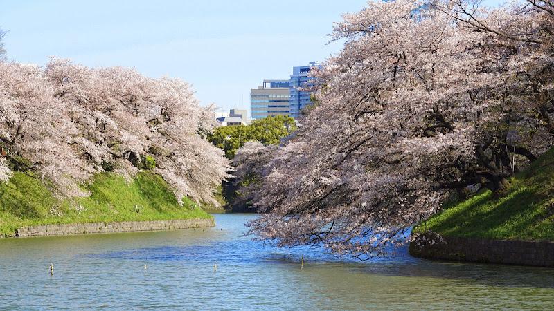 千鳥ヶ淵 桜 写真2