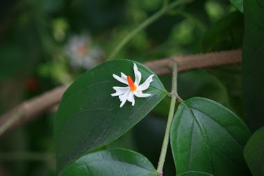 Essence of the Shiuli Flower on a Train Trip in Bengal