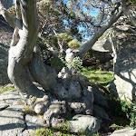 Snow gum nestled below Porcupine Rocks (264023)
