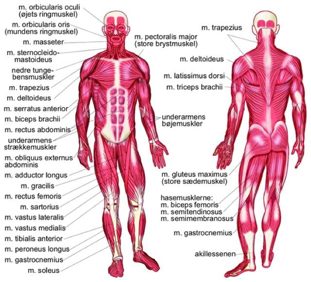 lure gåter muskler i kroppen navn