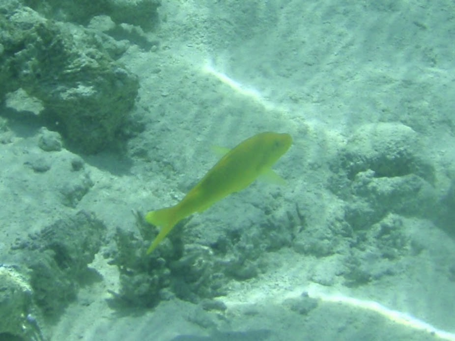 Parupeneus cyclostomus (Yellow-saddle Goatfish), Aitutaki.