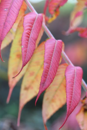 red and yellow sumac leaves