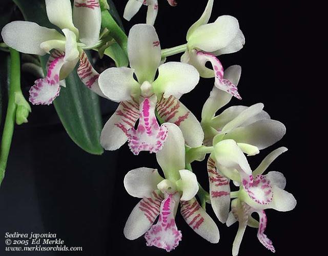 Растения из Тюмени. Краткий обзор - Страница 7 Sedirea_japonica