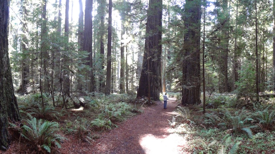 Founder's Grove, Avenue Of The Giants, California