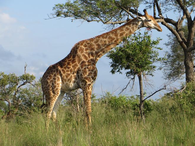 giraffe, Kruger Park - Zuid Afrika