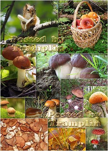 Фото – Грибы - Мы обшарим все дубы,  елки и осинки, и хорошие грибы соберем в корзинки
