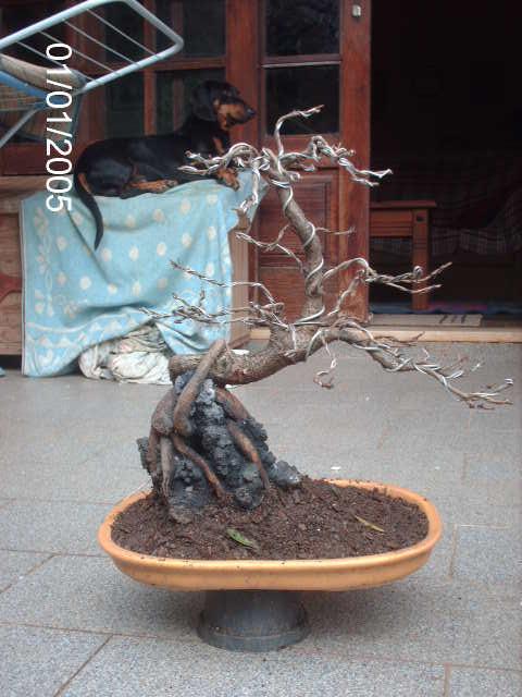 Ficus Nerifolia, Uma raiz de 3 anos... PICT1065