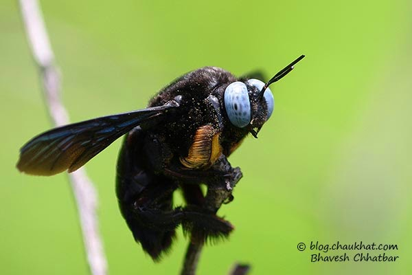 Blue-eyed carpenter bee