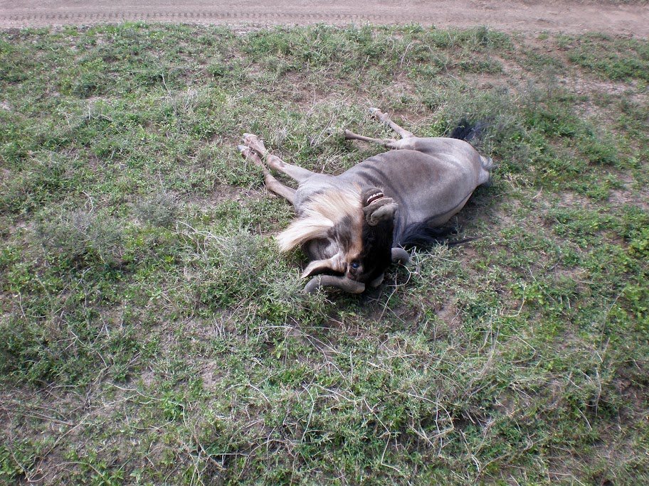 Ndutu plain - A dead/dying Wilderbeest!