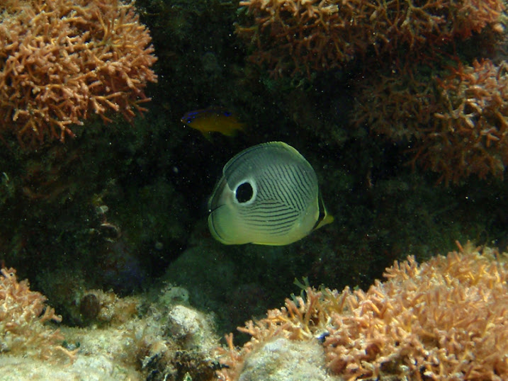 Chaetodon capistratus (Foureye Butterflyfish) near Tranquility Bay Resort.near Tranquility Bay Resort.